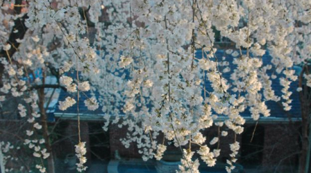 Weeping cherries are the Dr. Hyde of trees for small gardens.