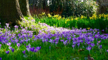 Early bulbs blooming at Denmans where John Brookes MBE lives and gardens.