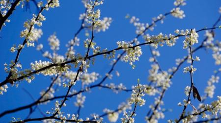 The white pea-like flowers of the redbud make blue skies bluer.