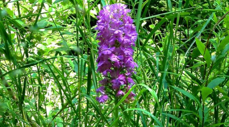 The Lesser Purpled Fringed Orchid is native to eastern North America.