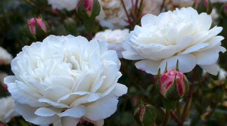 Little White Pet is a repeat-blooming shrub rose.